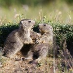 Marmottes en Vanoise par Pierre Cester